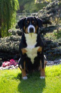 Entlebušský salašnícky pes na tráve a s kvetmi